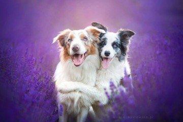 Lavanta Bahçesinde Poz Veren Minnoş Köpekler