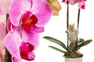 Papatya Çiçeği ve Özellikleri