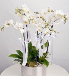 Beş Dallı Orkide Beyaz
