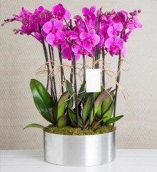 Beş Dallı Lila Orkide