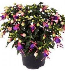 Saksı Küpeli Çiçeği