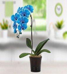 Mavi Orkide Saksıda