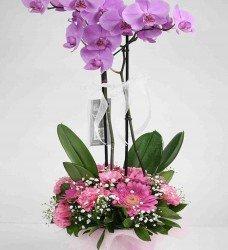 Saksı Çift Dal Orkide
