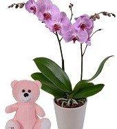 Çift Dall  Orkide-Ayıcık