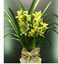 XXL Saksı Orkide