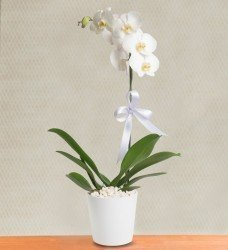 Saksı Orkide Tekli