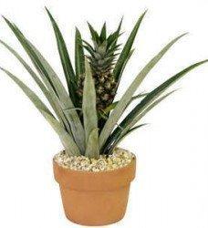 Saksıda Ananas