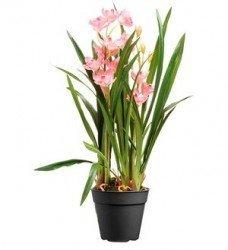 Spatyum-Orkide